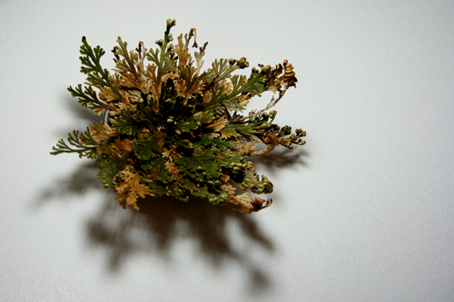 rose of jericho oil house blessing wicca witch pagan. Black Bedroom Furniture Sets. Home Design Ideas