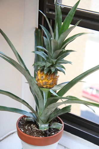 grow pineapple bush top